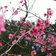 06.01緋寒桜6