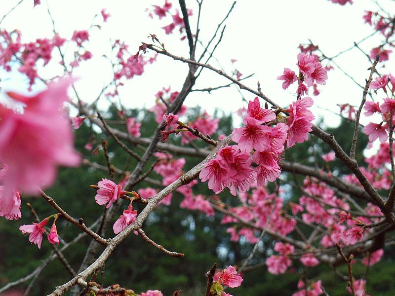 06.01緋寒桜3