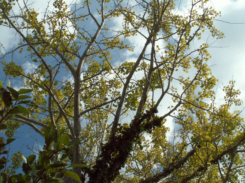 06.10イチョウの木