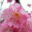 07.01緋寒桜1