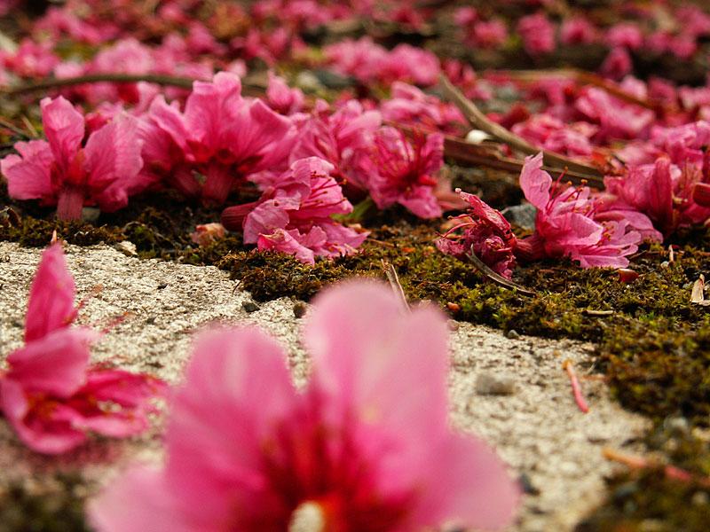 07.02緋寒桜、落ちる