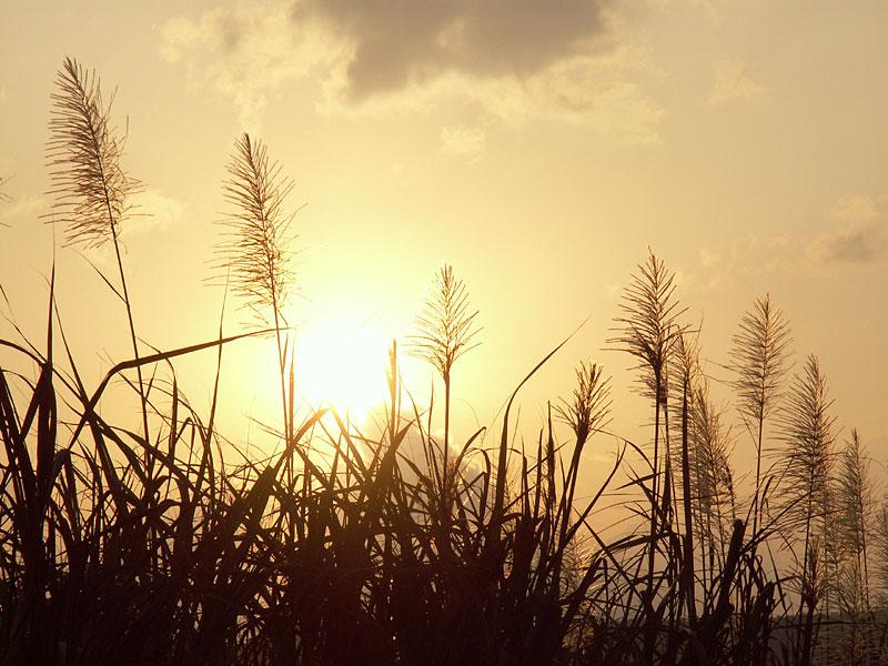 07.02サトウキビ畑の夕陽