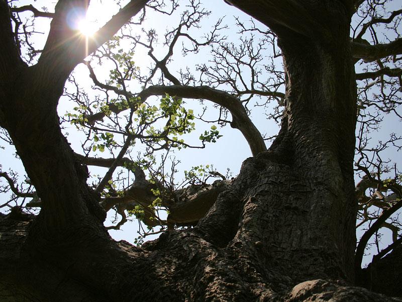 デイゴ樹齢350年