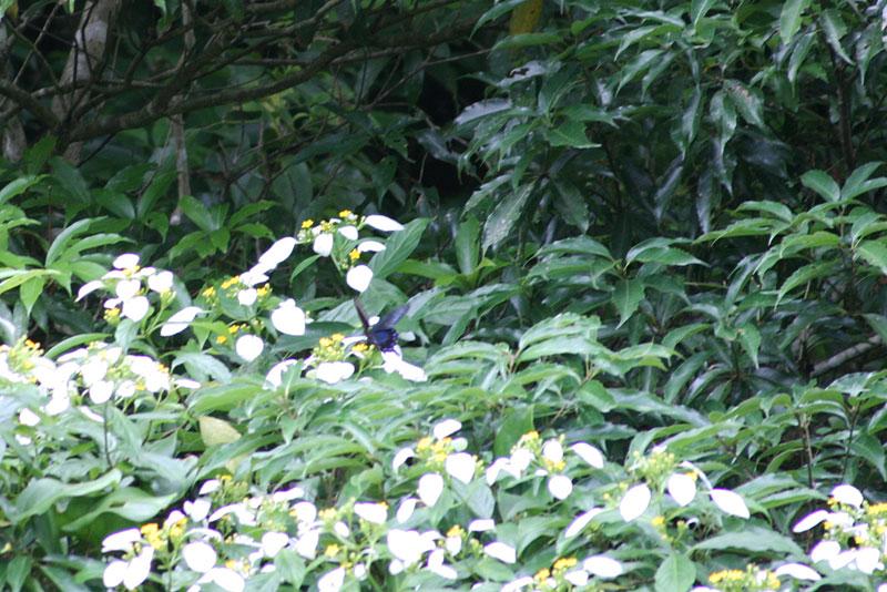 07.06コンロンカと蝶3