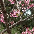 07.01緋寒桜とメジロ2