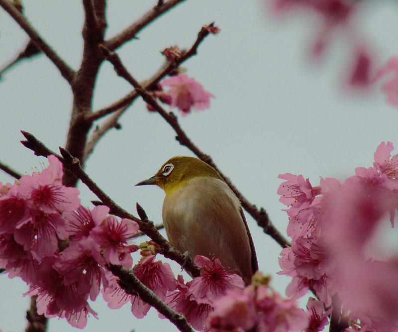 07.01緋寒桜とメジロ